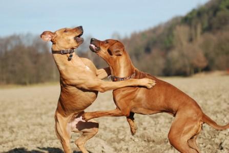 sonhar com cachorro brigando